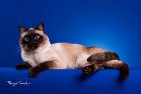 """Nova - stara"" pasma: mačka THAI"